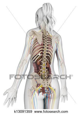 3d Rendered Resimleme Yznden The Kadin Anatomi
