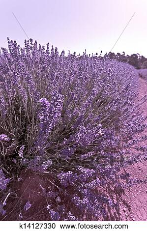 Lavender Bush In Tasmania Stock Image K14127330 Fotosearch