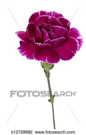 Atemberaubend Lila, nelke, blume Stock Bild | k12728682 | Fotosearch #AD_25