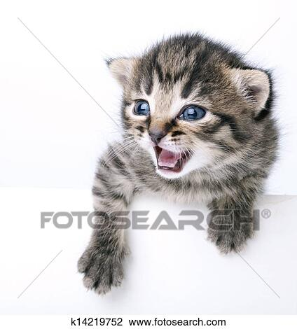Little 2 Weeks Old Kitten Stock Image K14219752 Fotosearch