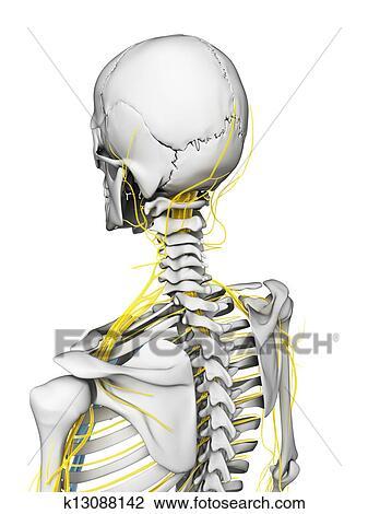 Clip Art - menschlich, -, nerven, und, skelett k13088142 - Suche ...