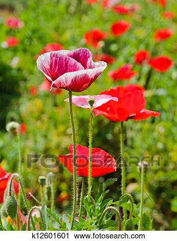 Stock photography of opium poppy flower k12601601 search stock opium poppy flower in field mightylinksfo