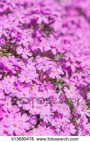 Pink Moss Phlox Covering Ground