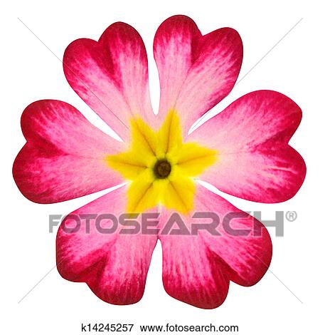 Picture of Pink Primrose Flower with Yellow Center Isolated on White ...
