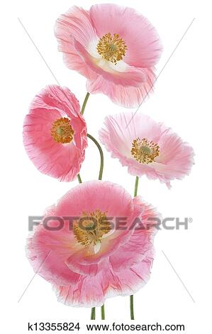 Drawings of poppy k13355824 search clip art illustrations wall studio shot of pink colored poppy flowers isolated on white background large depth of field dof macro symbol of sleep oblivion and imagination mightylinksfo