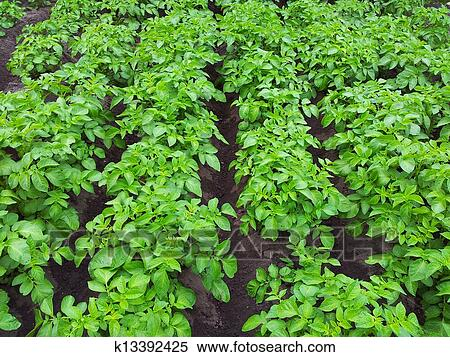 Potato Plant Stock Photography