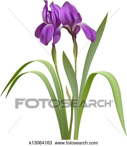 Purple Iris Flowers Isolated on White Background. Vector illustration