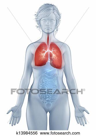 Stock Images of Respiratory system anatomy woman isolated k13984556 ...