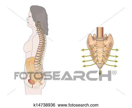 Stock Illustration - sakral, nerven k14738936 - Suche Clip Art ...