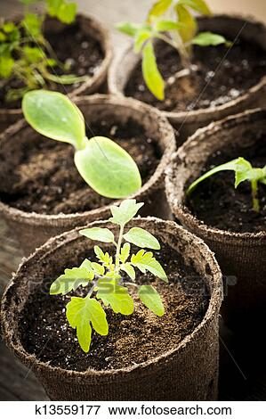 picture of seedlings growing in peat moss pots k13559177 search