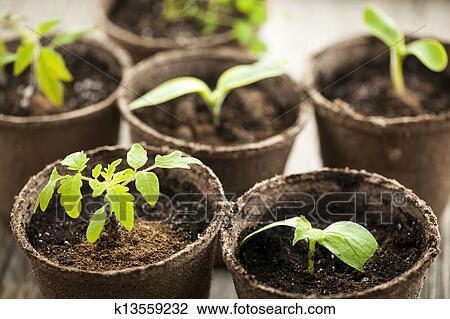 stock photo of seedlings growing in peat moss pots k13559232