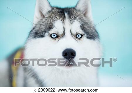 Stock Photo Of Siberian Husky Sled Dog Closeup Portrait K12309022