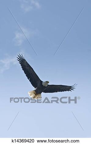 North American Wildlife Eagles Soaring In The Clouds Cotton Fabric