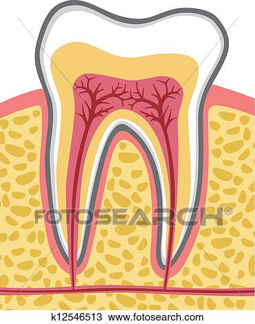 Clipart of tooth anatomy k12546513 - Search Clip Art, Illustration ...