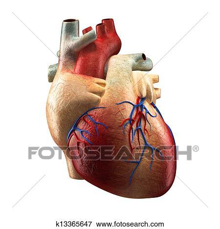 Colección de ilustraciones - verdadero, corazón, -, anatomía humana ...