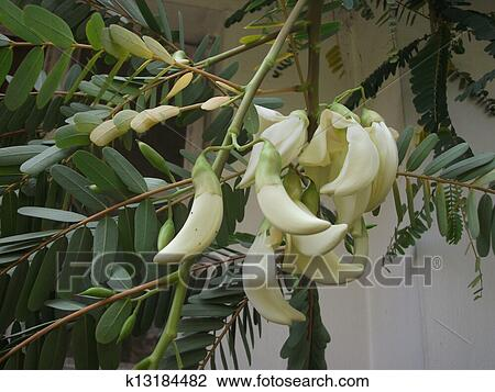 Stock photo of white edible flowers k13184482 search stock it is an edible flower found in india there are two varieties white and pink mightylinksfo