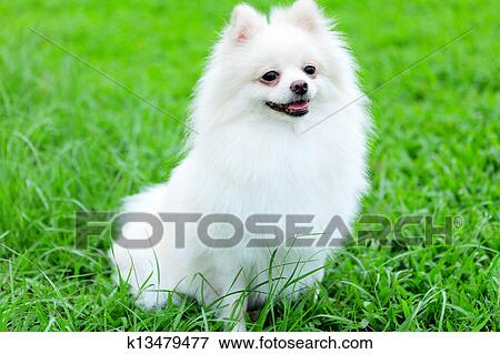 Picture Of White Pomeranian Dog K13479477 Search Stock Photography