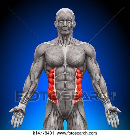 Clipart - äußerer schräger bauchmuskel, -, koerperbau, muskeln ...