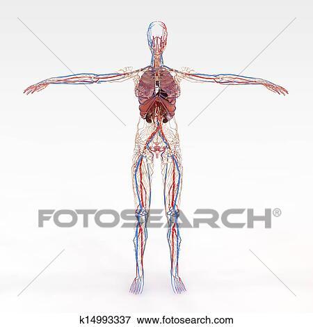 正確 女性 解剖学 イラスト K14993337 Fotosearch
