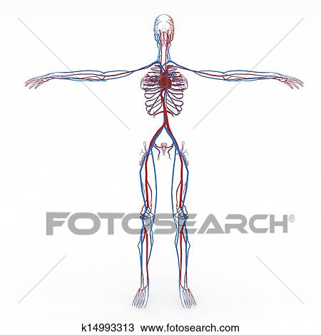 Drawing Of Accurate Female Anatomy K14993313 Search Clipart
