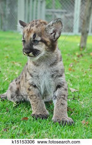 Image result for puma kitten