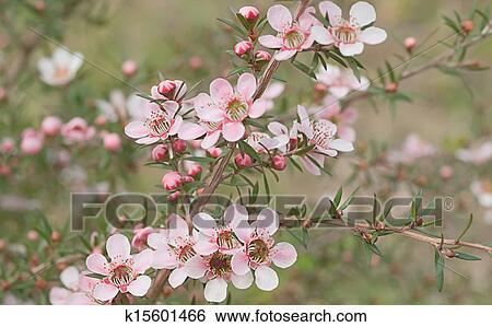 Stock images of beautiful pink flowers of leptospernum australian beautiful pink flowers of leptospernum australian native spring wildflower live in natural environment mightylinksfo