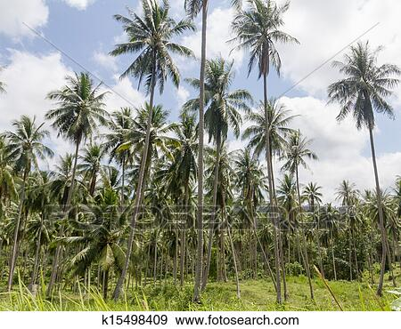 stock photograph of coconut palm trees k15498409 search stock