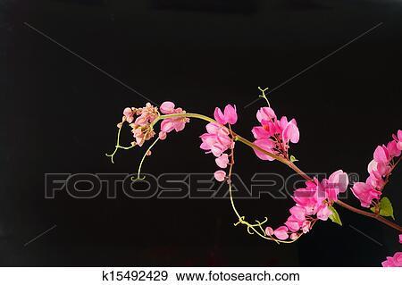 Banque De Photographies Fleur Rose Sur A Noir Arriere Plan