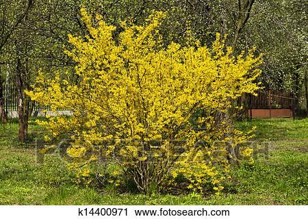 Stock photography of forsythia bush k14400971 search stock photos wild bush blooming forsythia yellow flowers mightylinksfo