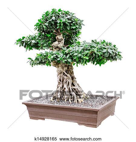 Stock Bild Gross Phantasie Bonsai Baum K14928165 Suche