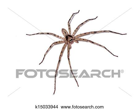 Hairy house spider (Tegenaria domesticus) on white ...
