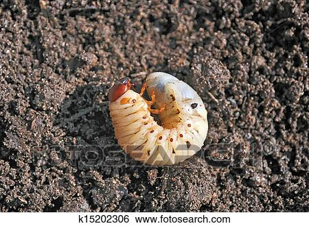 Larva The Larva Is Thick Vile Disgusting Maggot Fat Insect Larvae Beetle Larvae Rhinoceros Beetle Nasty Insect Pest Root Sickening Animal Stock Photograph K15202306 Fotosearch