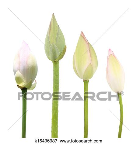 Picture of lotus buds k15496987 search stock photography photos lotus flower buds isolated on white mightylinksfo