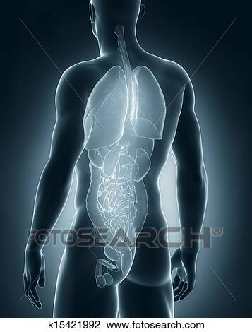 Stock Photo of Male organs anatomy posterior view k15421992 - Search ...