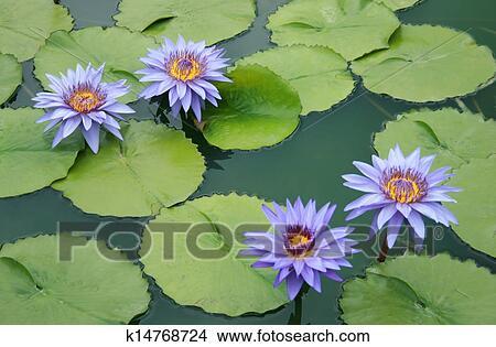 banque de photo n nuphar fleur lotus dans les tang. Black Bedroom Furniture Sets. Home Design Ideas