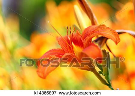 Orange Lilly Flower Lilies Outdoor Stock Photo K14866897