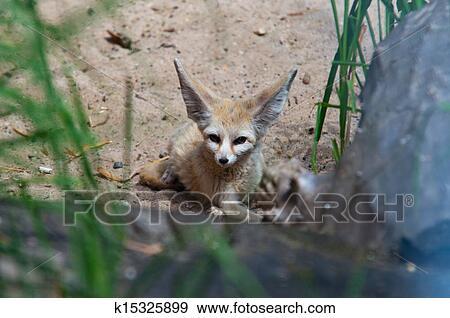 Stock Fotograf Wüste Fuchs Wüstenfuchs Fuchs Vulpes Zerda