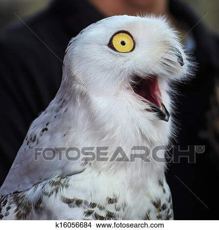 Image of: Png Cute Snowy Owl Bird Fotosearch Stock Photo Of Cute Snowy Owl K16056684 Search Stock Images Mural