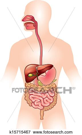 clip art of human digestive system vector illustration k15715467 rh fotosearch com digestive system clipart digestive tract clipart