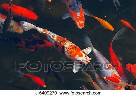 Banco de fotograf as koi carpas pez japon s nataci n for Koi japones