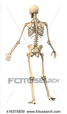 Stock Illustration Of Male Human Skeleton In Dynamic Posture Rear
