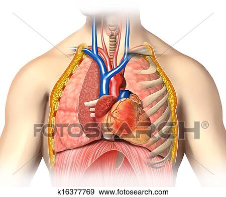 Stock Illustration Of Man Anatomy Thorax Cutaway With Heart With