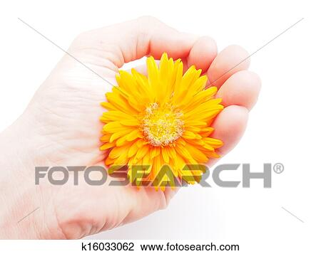 Clip art of marigold flower on a white background k16033062 search clip art marigold flower on a white background fotosearch search clipart illustration mightylinksfo