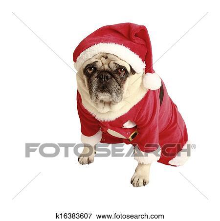 Mops Bilder Weihnachten.Mops Weihnachten Kostüm Stock Foto