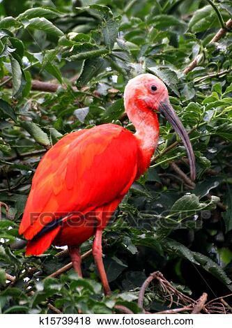 bilder rot ibis vogel mit sehr lebhaft gefieder und a