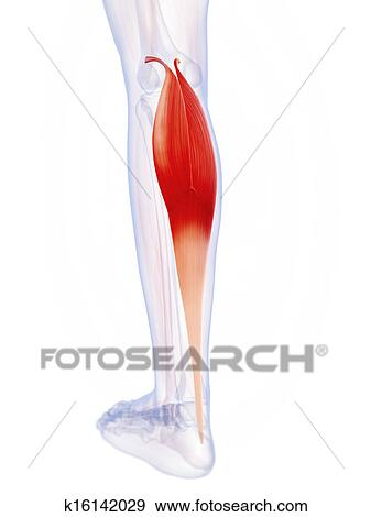 Stock Illustration of The gastrocnemius muscle k16142029 - Search ...