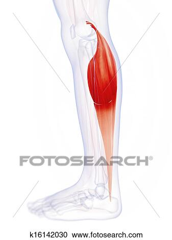 Stock Illustrations of The gastrocnemius muscle k16142030 - Search ...