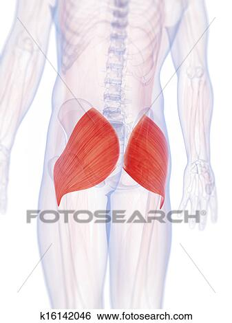 Stock Illustration Of The Gluteus Maximus K16142046 Search Clip