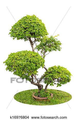 A Bush Of Ornamental Plants Bougainvilleas Isolated Over White Background
