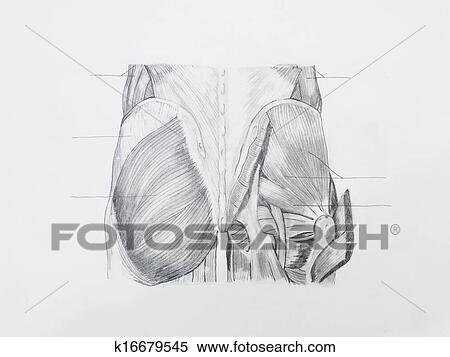 Serie Snimku Detail O Zadek Svaly Kresba Tuzkou Oproti